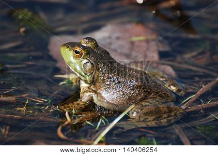 Great capture of a toad sitting in shallow water.