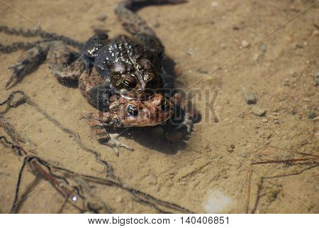 Pair of mating frogs laying eggs in a marshy area.