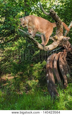Adult Female Cougar (Puma concolor) Looks Down - captive animal