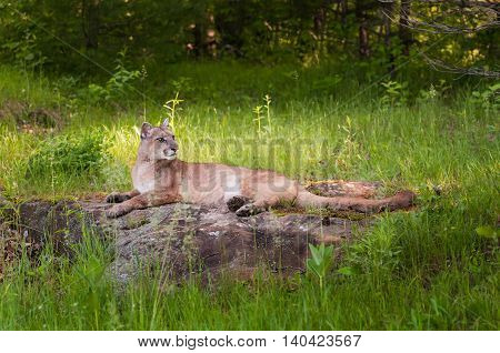 Adult Female Cougar (Puma concolor) Lies on Rock Looking Right - captive animal