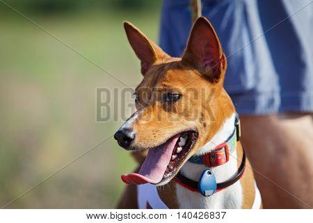 Basenji Dog Portrait Outdoors. Training Coursing