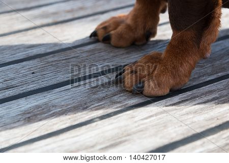 Paws of a big brown dog on the wooden floor