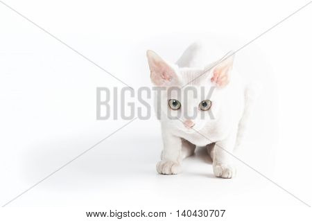 White Cornish Rex cat looking at photographer