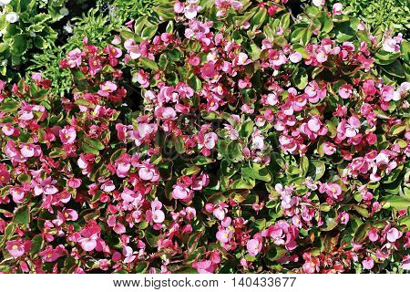 Background of pink flowers tuberous begonias on the flowerbed in the garden