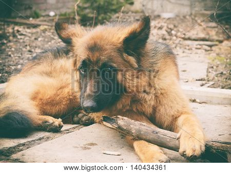 Vintage photo of Young red fluffy german shepherd dog plays with stick in the yard. Games with pet outdoor.