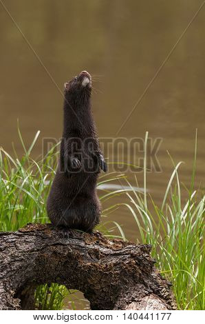 Adult American Mink (Neovison vison) Sits Up on Log - captive animal
