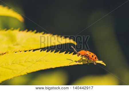 Macro of a Twelve Spotted Asparagus Beetle sitting on a yellow-green leaf.