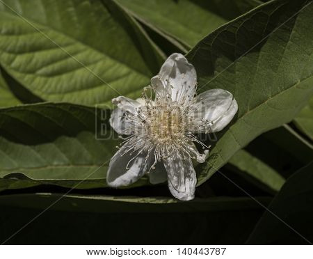Close Up Of White Flower Shoeing Stamen And Anther Configuration With Green Leaf Background