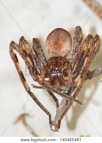 Rain Spider, These Spiders Often Come Inside Your House When It Rains 01