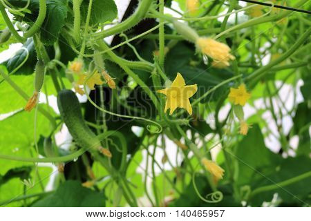 Cucumber ordinary or planting (Cucumis sativus) - an annual herbaceous plant, related to pumpkins, vegetable culture