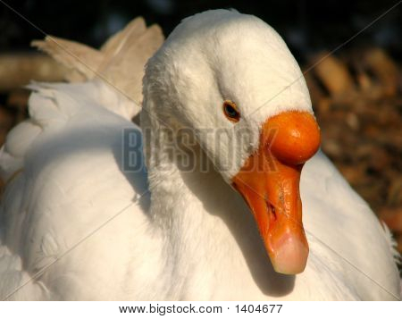 goose resting outside the barn on a farm poster