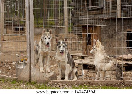 Husky dog farm in Rovaniemi Finland. Lapland.