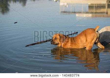 Boerboel Dog Fetching Stick In River.