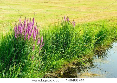 Closeup of grasses and purple colored Purple Loosestrife on the outskirts of newly mown grassland and a narrow ditch. on a sunny day in the summer season.