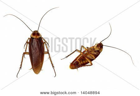 Cockroaches Isolated