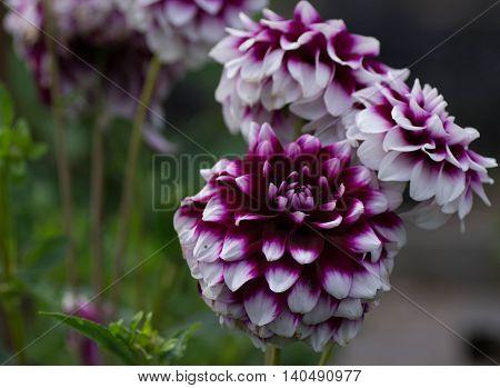 Close up Photo of Dahlia in garden