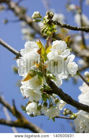 Close-up of a cluster of white flowers of a cherry tree (Prunus spp)