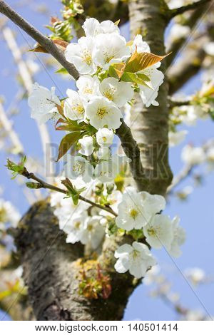 Close up of a branch with white  flowers of a cherry tree (Prunus spp) in spring time