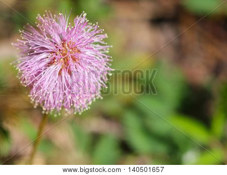 Close up of a pink single flower of Mimosa strigillosa called also Powderpuff or Sunshine mimosa - a ground-cover native to Florida