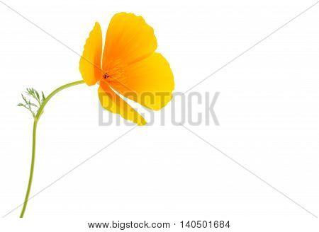 Eschscholzia californica flower on a white background