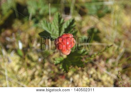 Close up of one singel immature cloudberry on its plant picture from the North of Sweden.