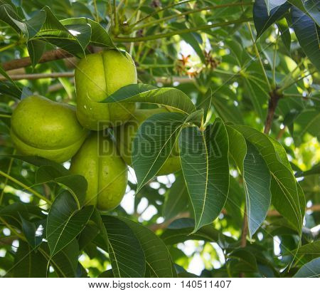 Green fruits of Sterculia foetida tree, called also Bastard Poon Tree, Java Olive Tree, Hazel Sterculia or Wild Almond Tree
