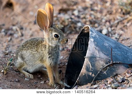 Wild baby cottontail rabbit in the wild