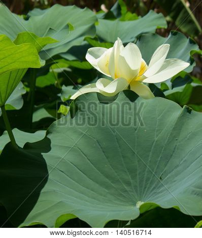 Single cream color Water lily (Nymphaea spp) in the middle of big leaves