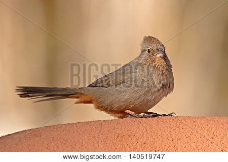 A Canyon Towhee resting on an adobe wall in Santa Fe, New Mexico.