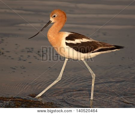 An American Avocet striding boldly along the edge of a lake in Colorado