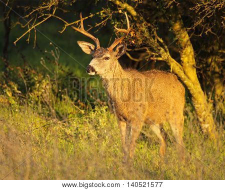 A Black-tailed Deer buck emerging from a California forest.