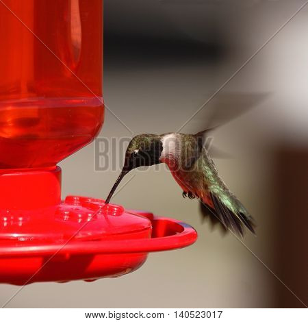 A Black-chinned Hummingbird Feeding On The Fly In Colorado
