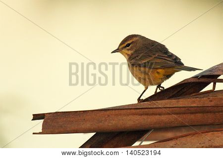 A Palm Warbler Hunched Up On Palm Leaves In Florida