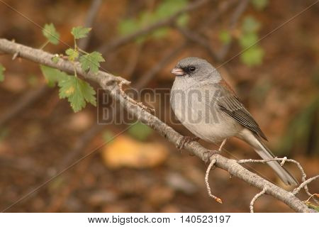 A Dark-eyed Junco On A Sharp Perch In A New Mexico Forest