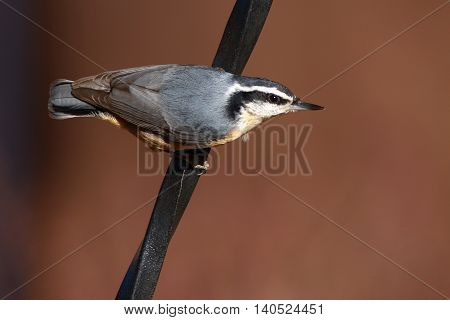 A Red-breasted Nuthatch On A Twisted Perch In New Mexico