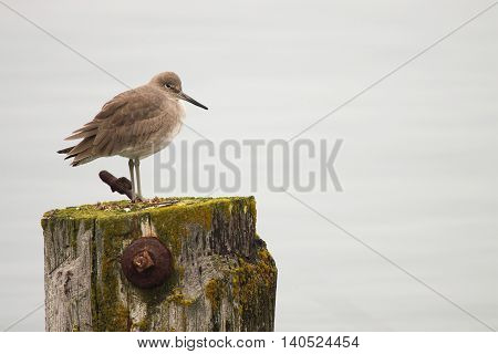 A Willet Resting On A Mossy Post Along The Pacific Ocean In Northern California
