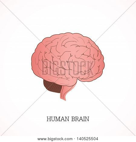 Structure of human brain Anatomy system isolated on white background Human anatomy education vector illustration.