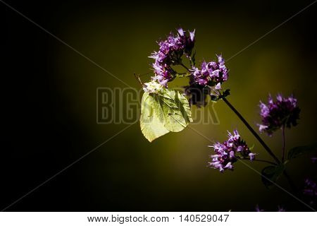 a brimstone butterfly pollinating a purple flower poster