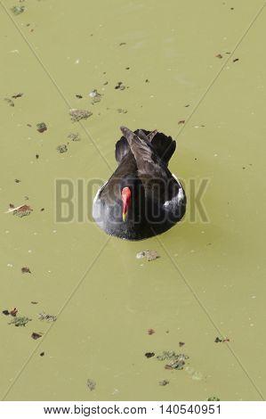 moorhen gallinula chloropus bird on water pond