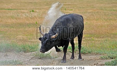 very aggressive Camargue Bull pawing the Ground,Camargue,France