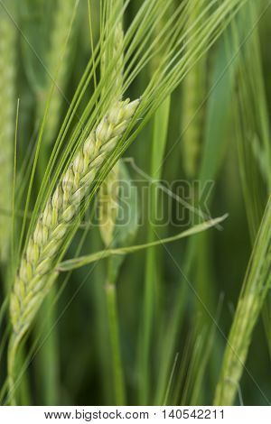 Close Up Of Head Of Green Barley In Field In Summer