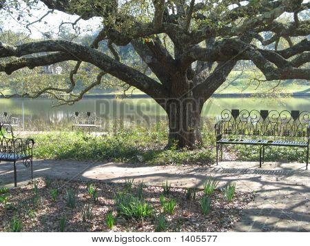 Spreading Tree In Natchitoches, Louisiana