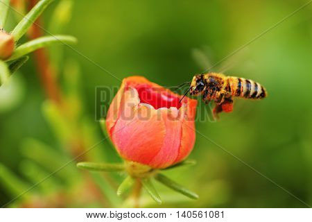 Worker bee collects pollen from a flower.