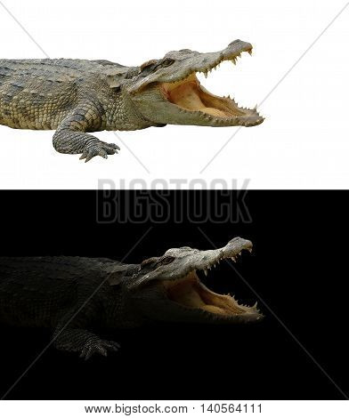 Crocodile On Dark And White Background