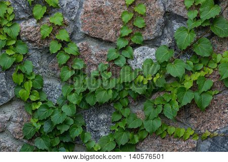 Green ivy liana climbs on brick wall- background