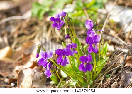 Mayflower Viola Beauty violet forest flowers odorata