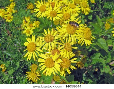 yellow daisies in a meadow with a bee sucking nectar poster