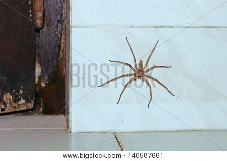 A huge house Spider on the white wall. Home nightmare for the owner, the spider on the wall. Insect Sri Lanka.