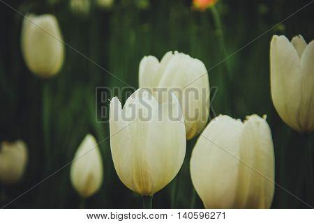 White tulips, Tulip field, beautiful flowers, summer