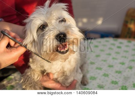 Havanese is cut the fur of dog hairdresser